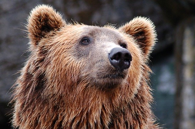 Animal Totem L'ours