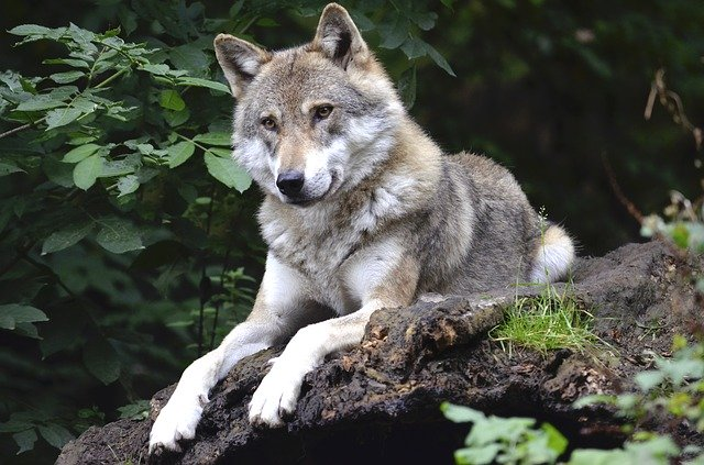Animaux Totem Le Loup